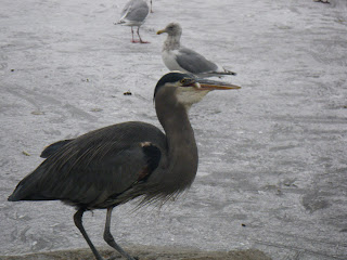 The Great Blue Heron catching lunch in Stanley Park