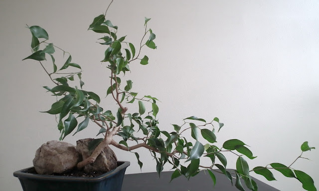 Exotic Ficus Wiandi semi-cascade bonsai