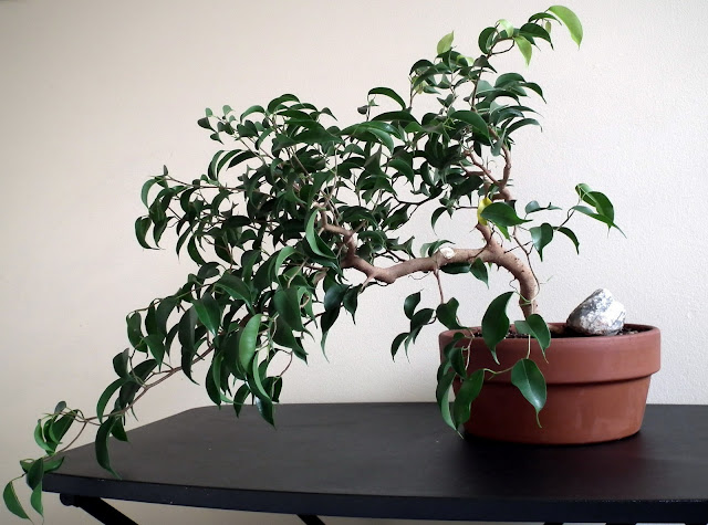 Ficus Wiandi - exotic indoor bonsai