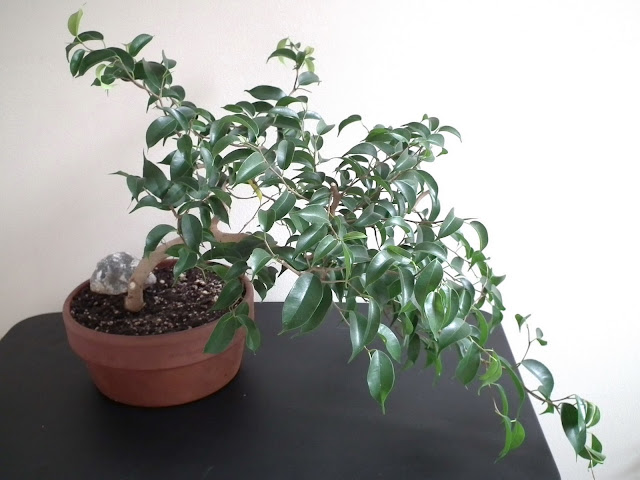Ficus Wiandi bonsai - air-purifying bonsai