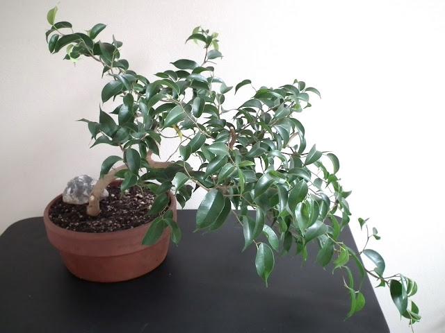 Ficus Wiandi bonsai - air-purifying bonsai