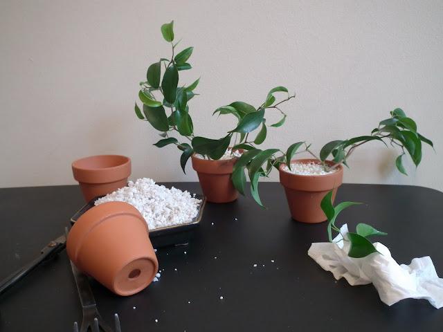 Ficus wiandi cuttings in perlite and small terracotta pots (3cm high)