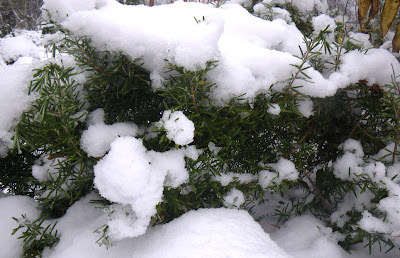 rosemary in snow