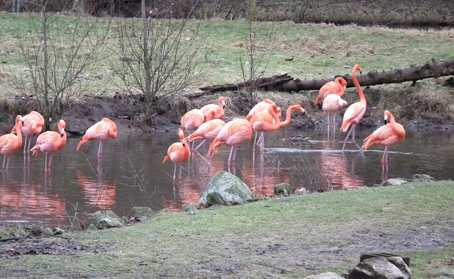 Greater Vancouver Zoo - flamingo