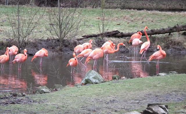 Greater Vancouver Zoo - flamingo