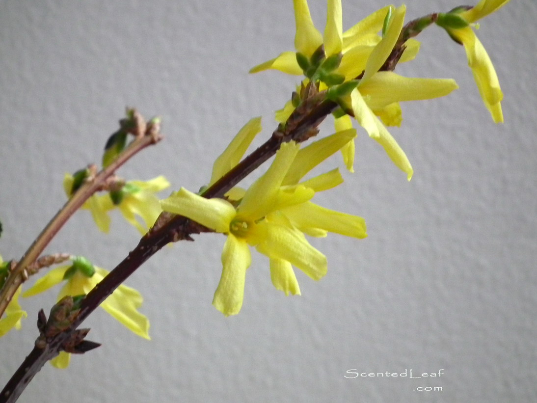 scented leaf forsythia flowers, sign of spring, Beautiful flower