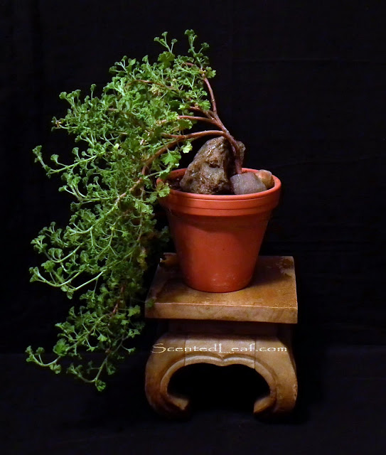 Pelargonium Citrosum (Prince of Orange) bonsai - cascade style