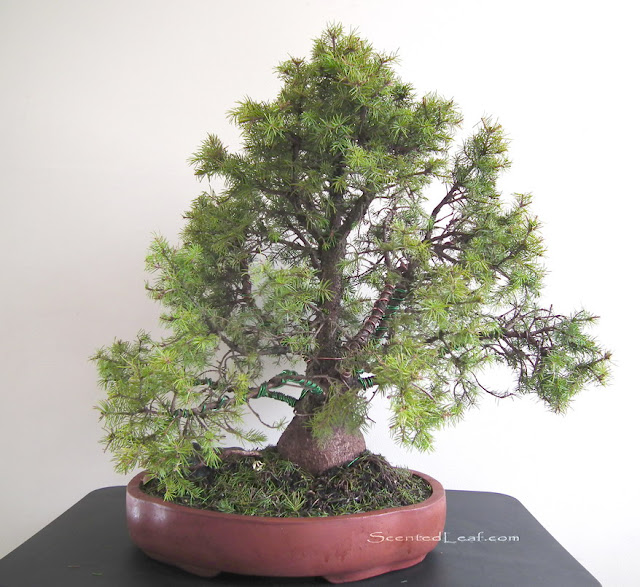 Picea Pungens Globosa bonsai in fall of 2010