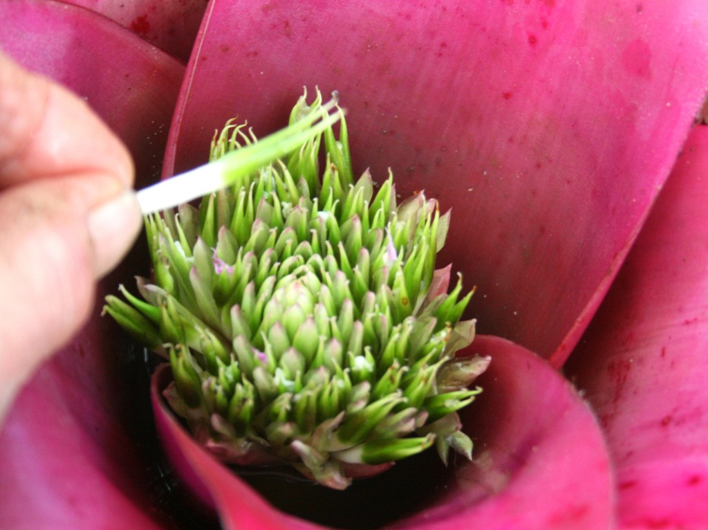 how to grow neoregelia by seeds