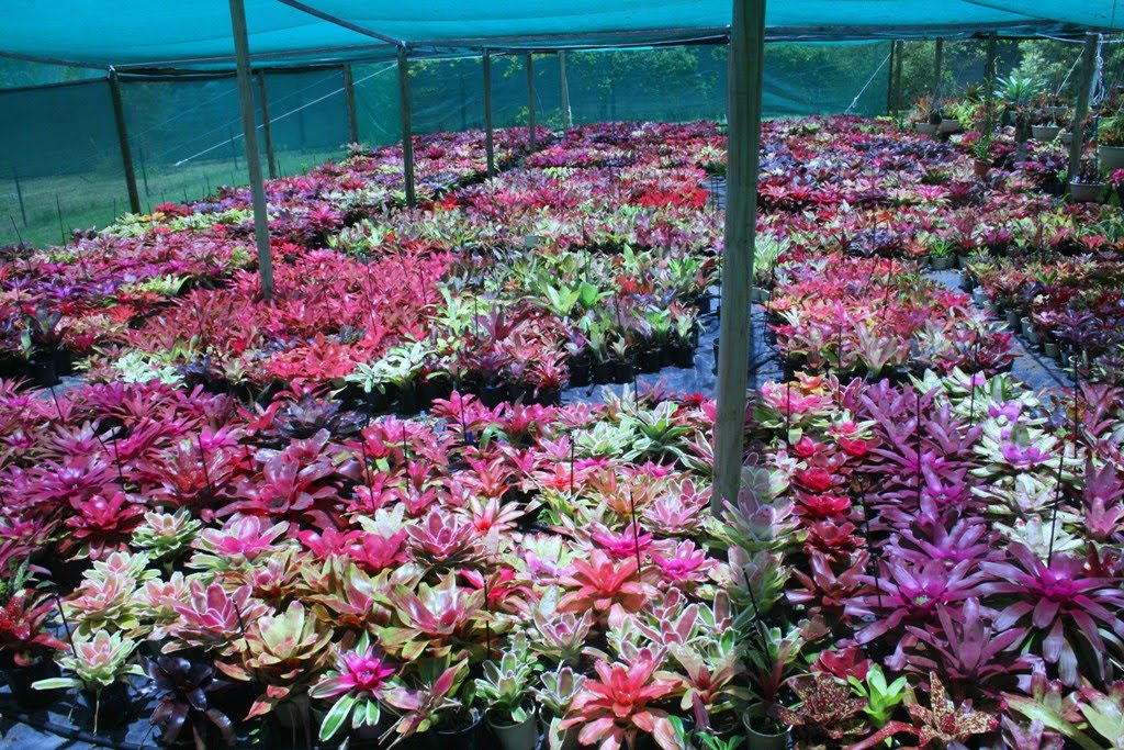 BROMELIAD, Bromeliads, The online Directory- The One-Stop Brom Shop. Bromeliad Specialist