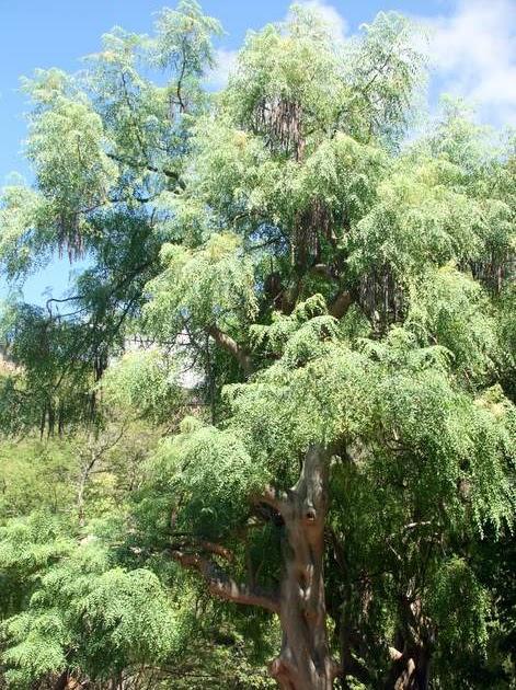50 Trees For Hawaii 39 S 50 Years Moringa At Koko Crater