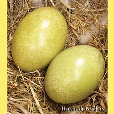 Huevos de Ñandues