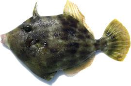 倶楽部ターゲット魚種〔カワハギ〕