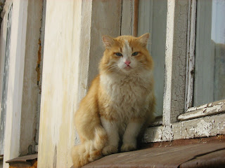 Azure-Eyed Ginger-White Cat