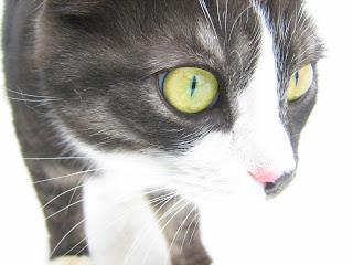 Lime-Eyed Tabby-White Cat
