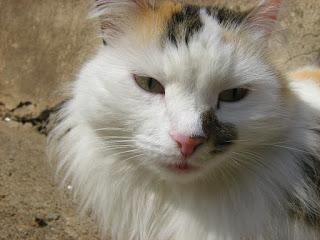 Tortoiseshell-White Kitty