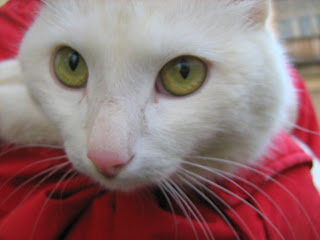 """Young White Cat """"Snowball"""": Part One"""