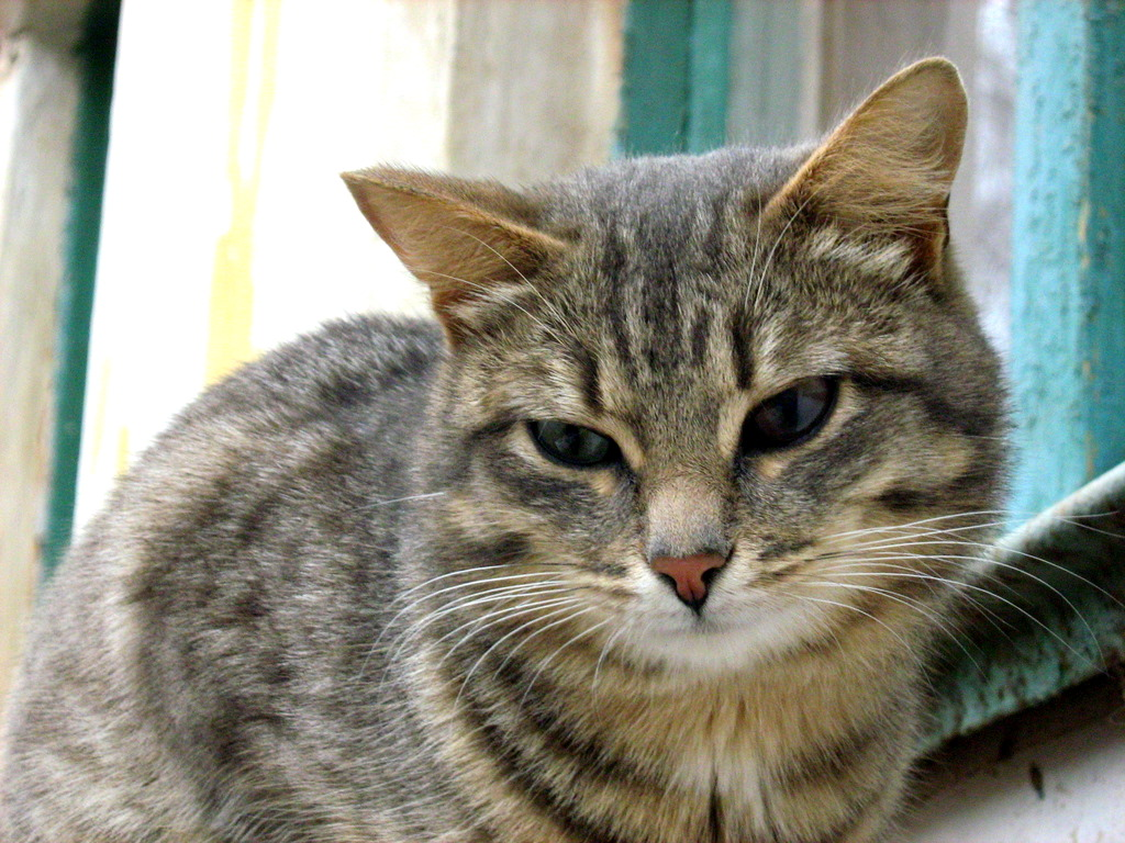 smashed face cat breed