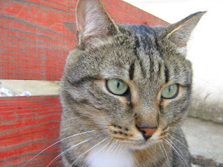 White Collar Tabby Cat: Part One