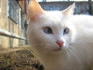 Cross-Eyed White Kitty