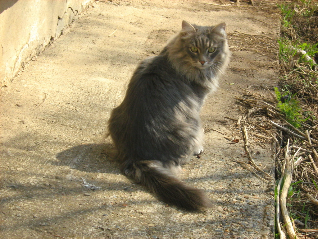 Long-Haired Smoky Cat