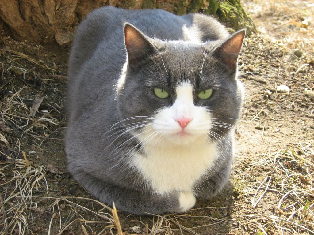 Lazy Blue White Fat Cat — Russian Cats