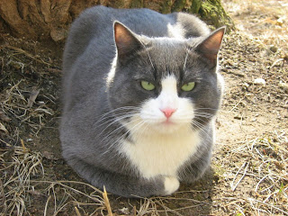 Lazy Blue-White Fat-Cat