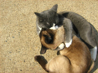 Blue-White Cat vs. Siamese Twin-Cat: Round Two