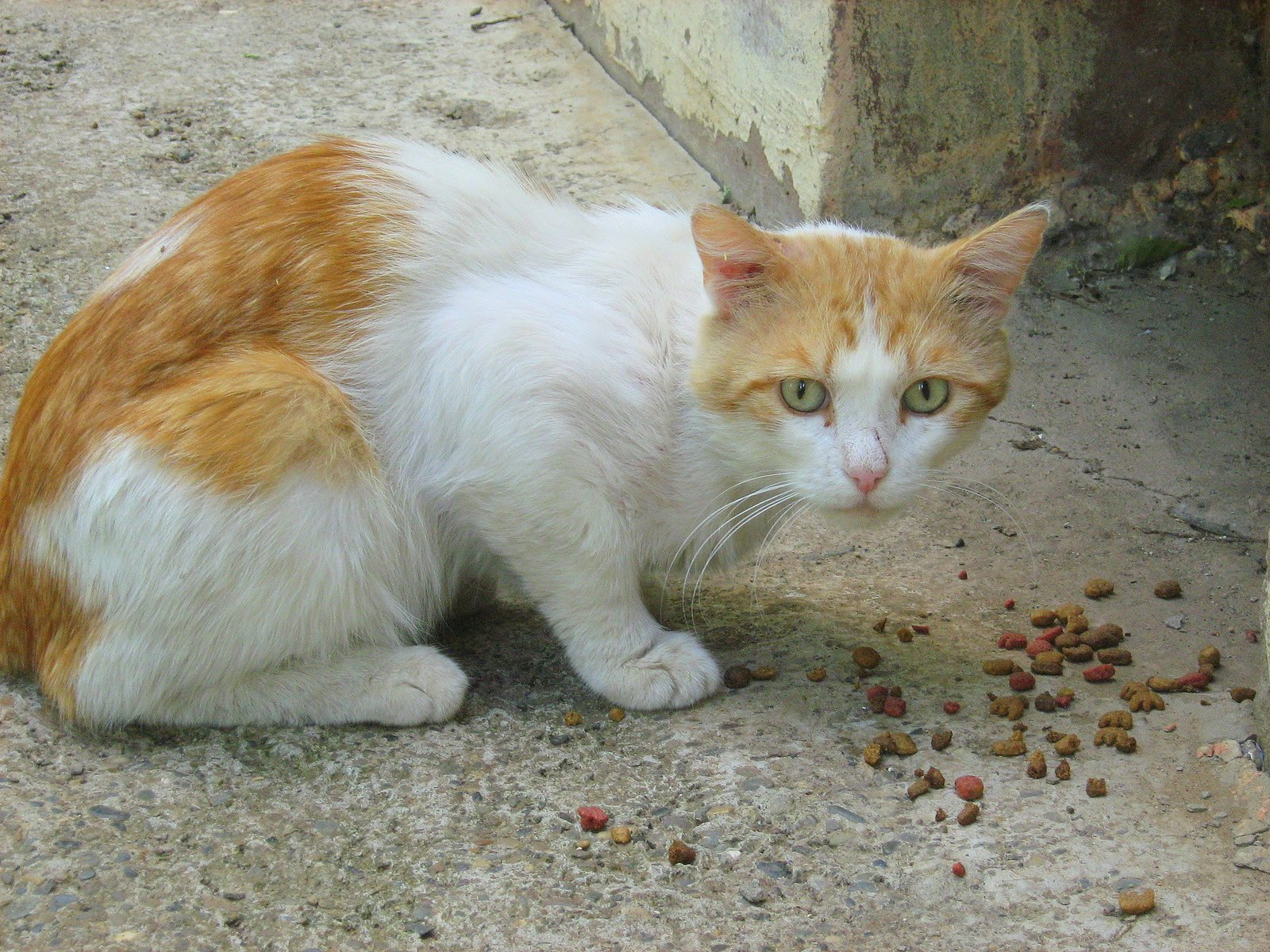 Ginger White Cat — Russian Cats