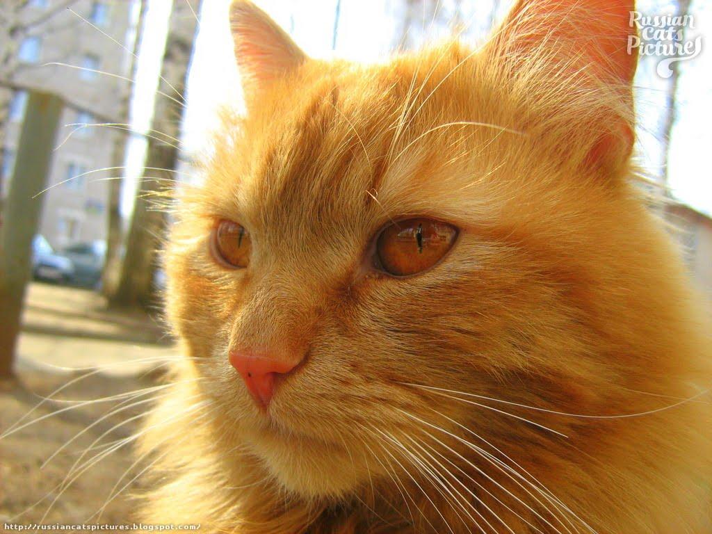scottish fold kitten cost
