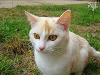 Orange-Eyed White Red Point Curious Cat