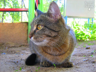 Yellow-Eyed Brown Mackerel Tabbie Sweet Cat