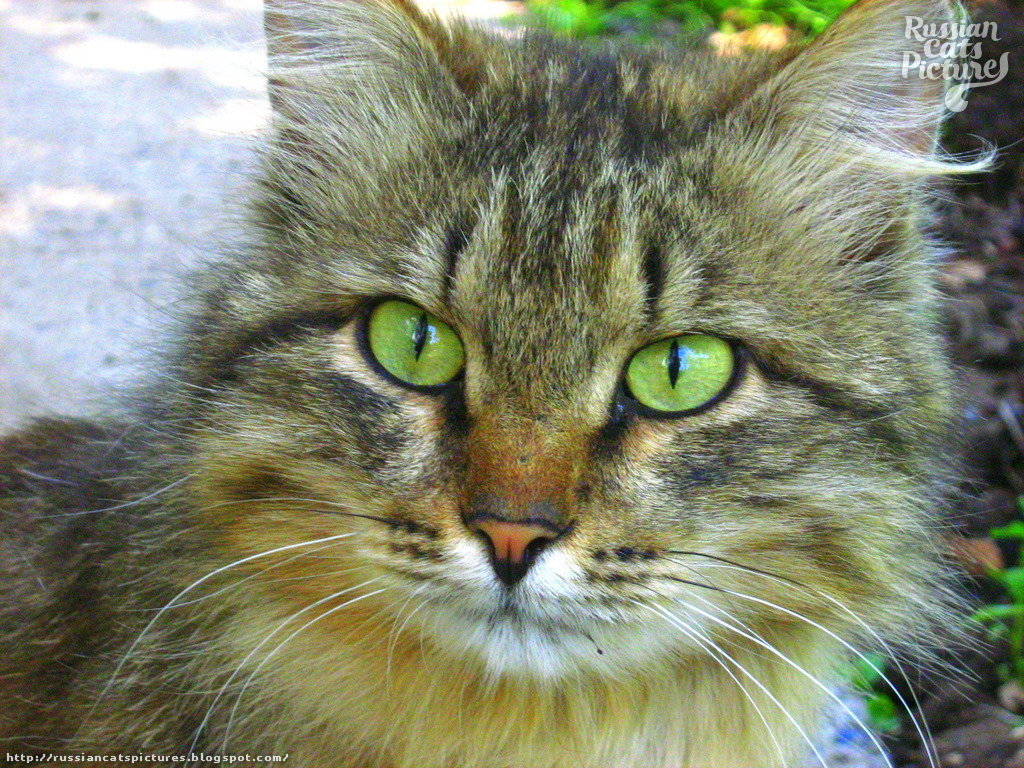 Lime-Eyed Brown Mackerel Tabby Inquisitive Cat