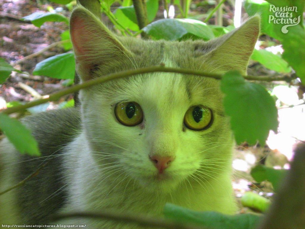 Yellow-Eyed Blue Mackerel Tabby with White Shrubby Kitty