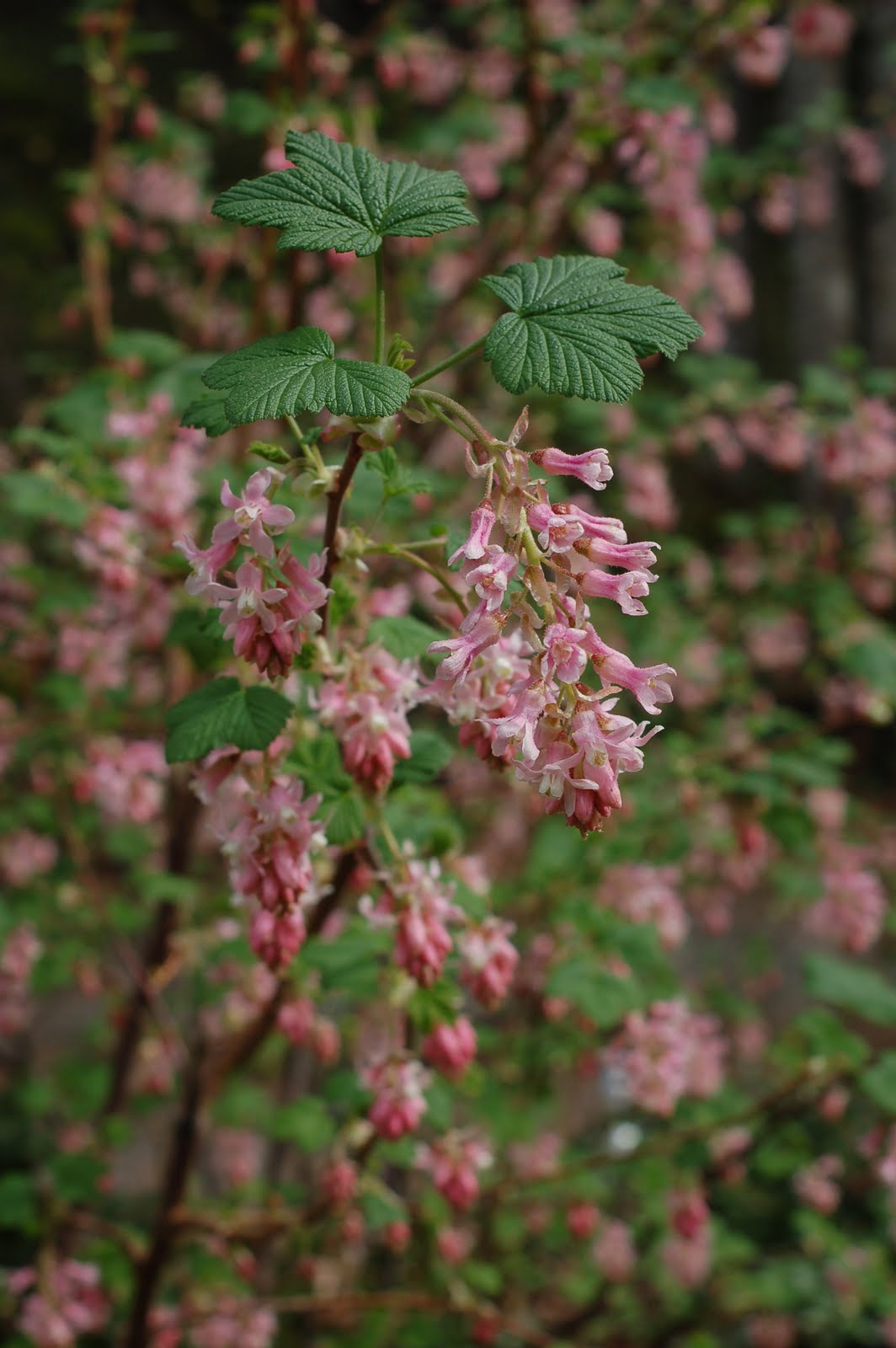 Garden notes from leaning oaks a really good red flowering currant a really good red flowering currant ribes sanguineum mightylinksfo