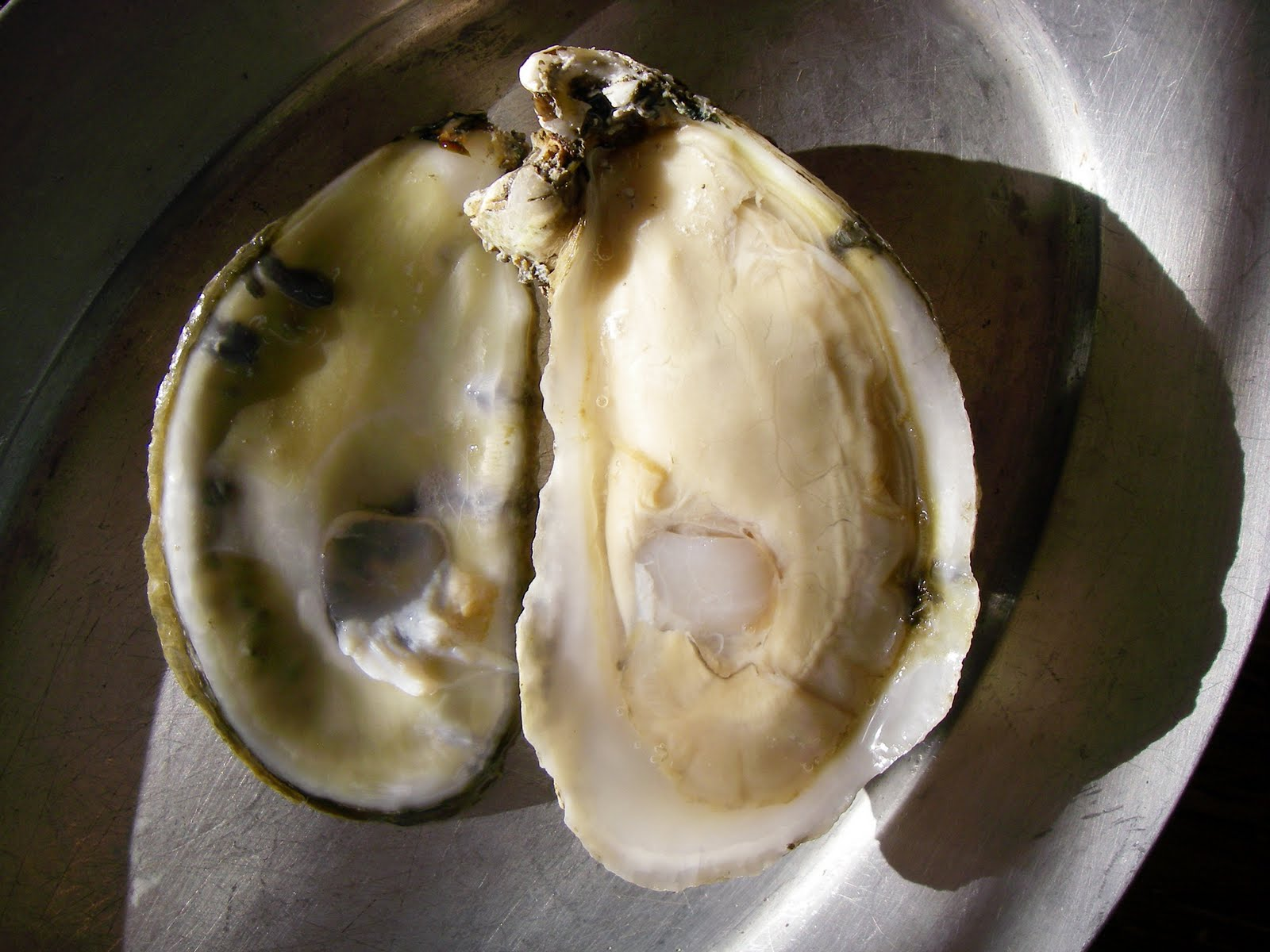 the big oyster history on the Because shellfish such as the eastern oyster provided a valuable source of  protein that didn't require a great deal of energy to attain, they.