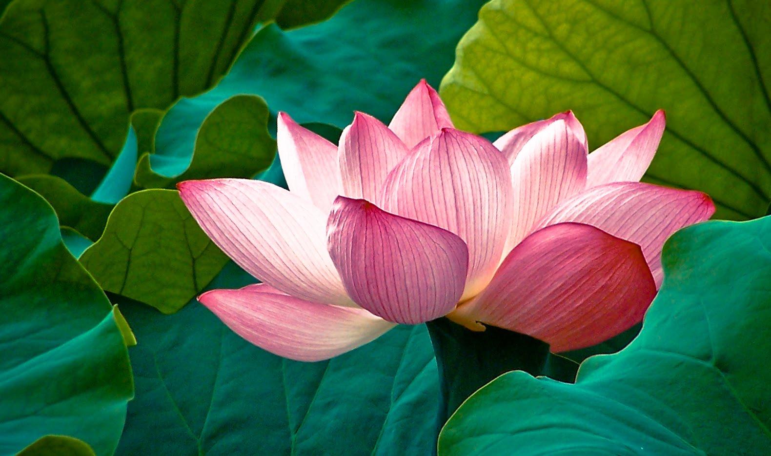 flor de loto��� - Taringa!