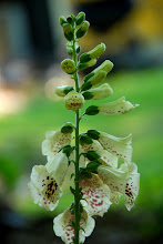 Old Fashioned Foxglove