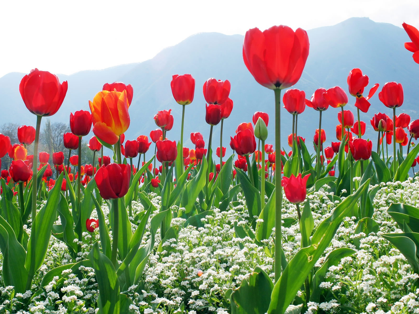 http://2.bp.blogspot.com/_RAlP3BmEW1Q/TQNcGCfJ2OI/AAAAAAAABC4/qWyYegPxsrk/s1600/Bloemen-achtergronden-bloemen-wallpapers-46.jpg