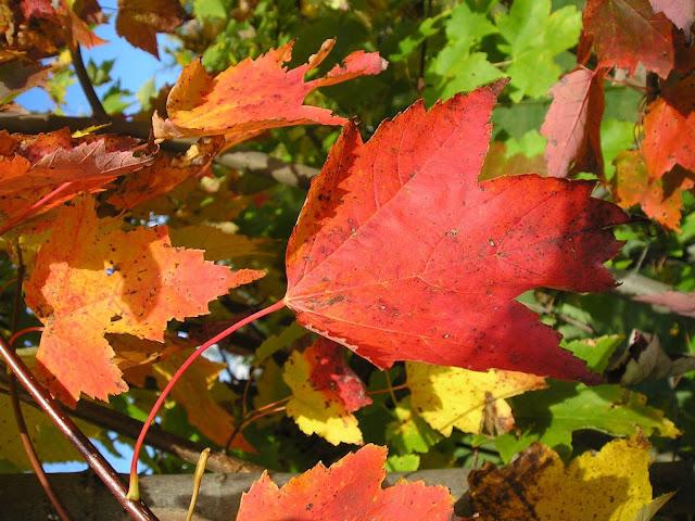 Achtergrond met rode bladeren