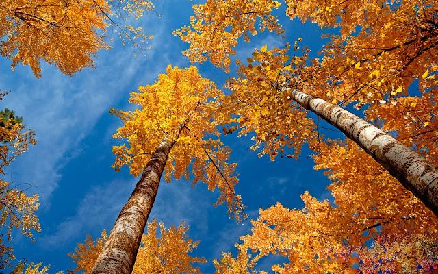 Oranje herfst achtergrond met hoge bomen
