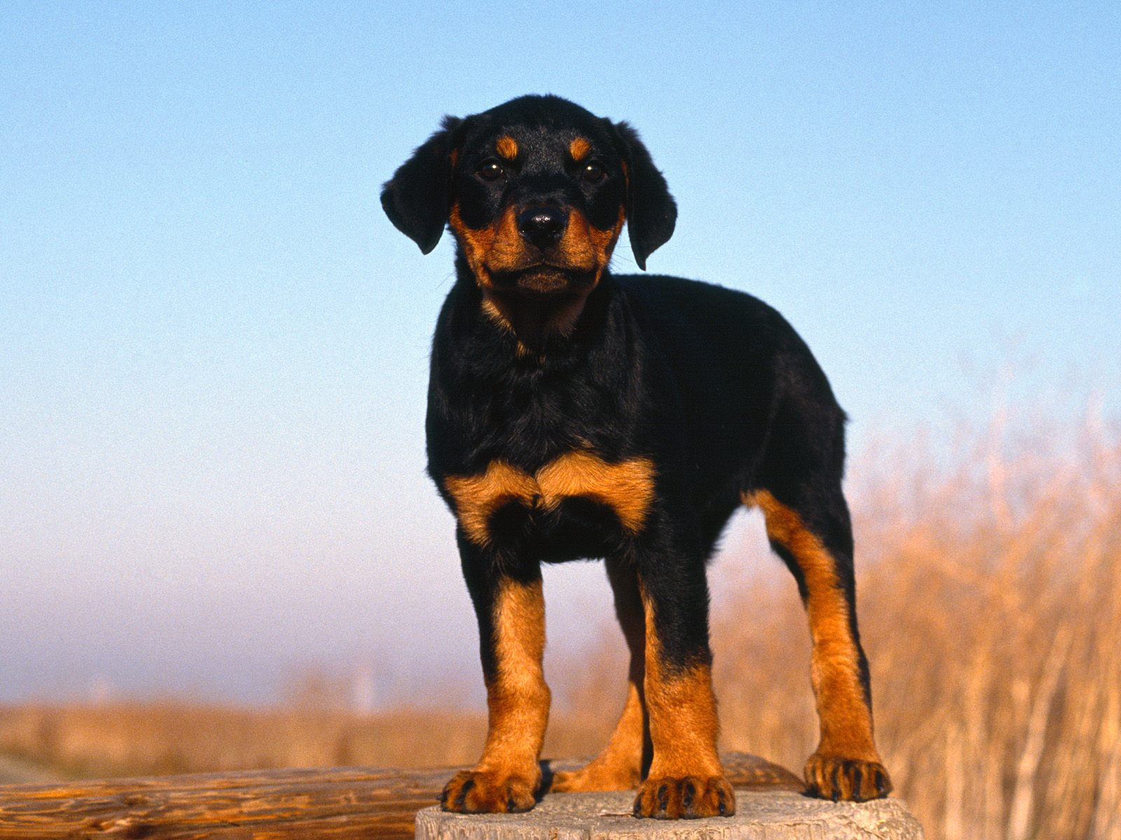 Wallpaper hond met bal...