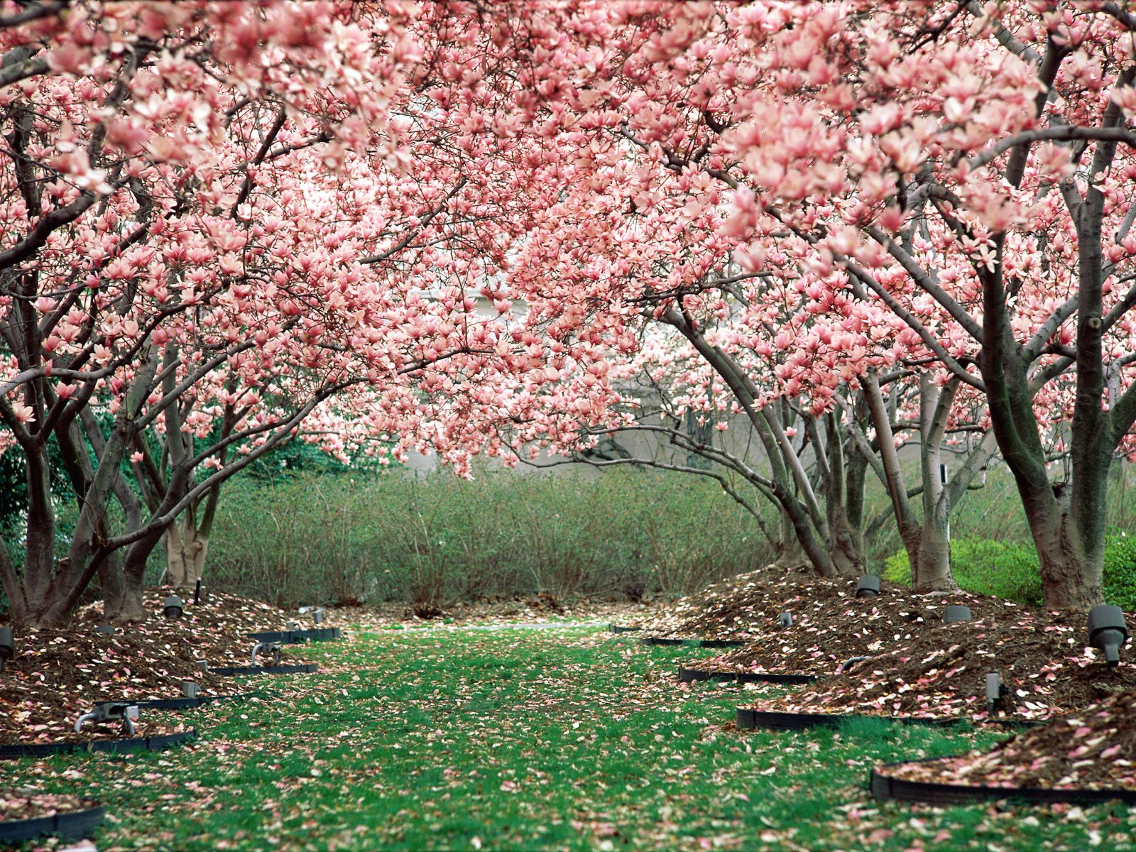 pink spring trees wallpaper - photo #16