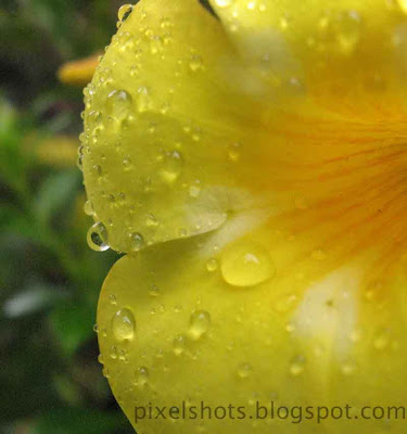 rain-drop-closeup-from-flower-petals,kolamby-poovu,manja-kolamby,kerala-local-flowers,closeup-mode-flower-photos,yellow-bell,rain-soaked-flower-petals