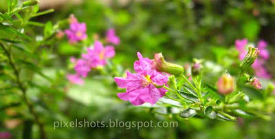 violet-flowers,kerala-garden-flowers,smallest-violet-flowers-from-kerala-gardens,tiny-flower-macro-photoo