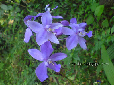 violet-ground-orchid-flowers,orchid-flower-closeup-photos,violet-kerla-garden-flowers-closeups,kerala-flower-photos