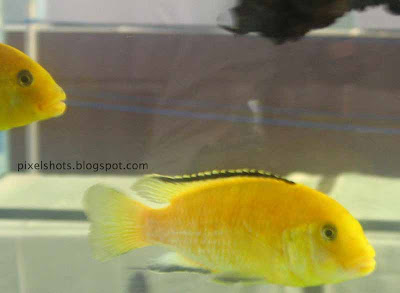 electric-yellow-cichlid-fishes,yellow-aquarium-fishes-photographed-from-cochin-kerala,kerala-aquarium-shows,african-cichlids,omnivorous-aquarium-fishes