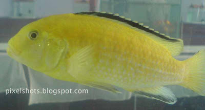 aquarium-ornamental-fishes,african-fishes,lemon-drop-fishes,labidos-in-aquariums,aquarium-fish-exhibition-kerala-cochin,ernakulam-aqua-show-fishes,aquarium-photos-with-cellphone-cameras