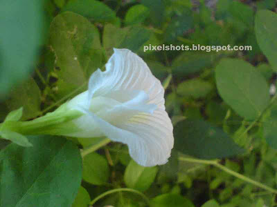 clitoria tenatia,flower used in herbal sexual treatement,herbaceous plant,shangupushpam medicine,tropical herbs,mdicinal effects of clitoria tenatia plants and flowers,white butterfly pea flowers,pure white flower,ayurvedic herbs of Kerala,shangupushpam,herb to treat anxiolytic, antidepressant, anti stress