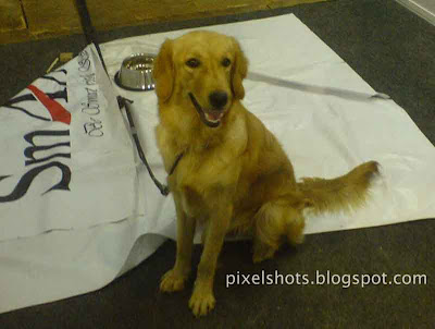 golden retriever photos,kerala dog show,pet dog shows cochin kerala,America popular pet dog,retrieval dog,sniffer dog,energetic amicable pet dog,best companion dog,hunting dog